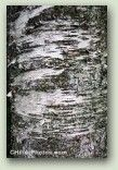 Birch Bark 1 No.  0131