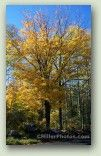 Yellow Fall Maple No. 0297